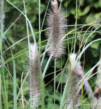 Lampenputzergras Herbstfreude - großer Topf - Pennisetum alopecuroides