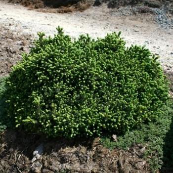 Blaue Igelfichte 40-50cm - Picea glauca