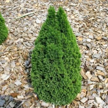 Zwerg Zuckerhutfichte Laurin 60-70cm - Picea glauca