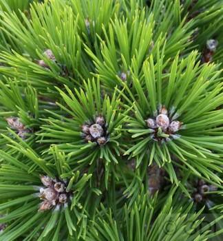 Hochstamm Japanische Rotkiefer Low Glow 40-60cm - Pinus densiflora