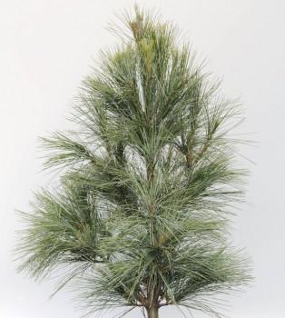 Kleine Tränenkiefer Densa Hill 25-30cm - Pinus wallichiana