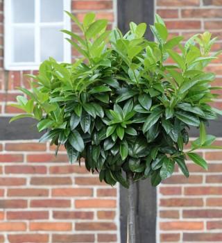 Hochstamm Kaukasische Lorbeerkirsche 125-150cm - Prunus laurocerasus