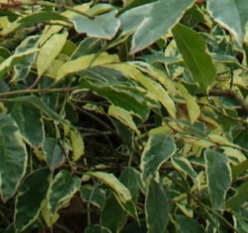 portugiesischer kirschlorbeer variegata prunus lusitanica variegata. Black Bedroom Furniture Sets. Home Design Ideas