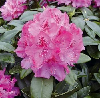Großblumige Rhododendron Constanze 60-70cm - Alpenrose