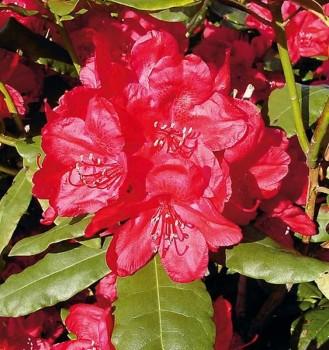 Großblumige Rhododendron Hachmanns Feuerschein® 60-70cm - Alpenrose