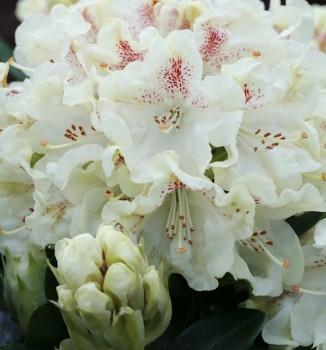 Wild Rhododendron annae 25-30cm - Rhododendron annae