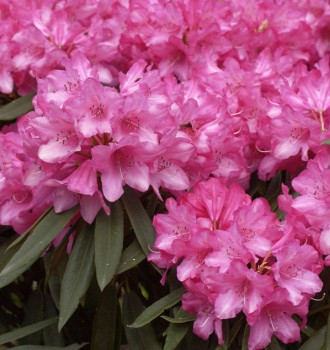 Rhododendron Rosa Perle 60-70cm - Rhododendron makinoi