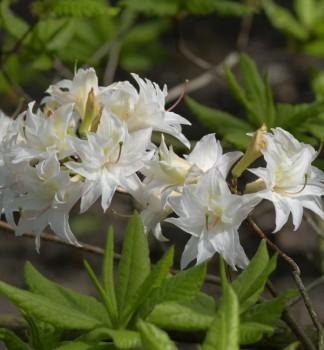 Sommergrüne Azalee Schneeköpfchen 30-40cm - Rhododendron mixtum