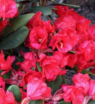 Azalee Burletta 30-40cm - Rhododendron neriiflorum - Alenrose