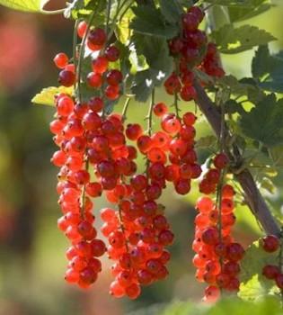 Rote Johannisbeere Rosetta 60-80cm - Ribes rubrum