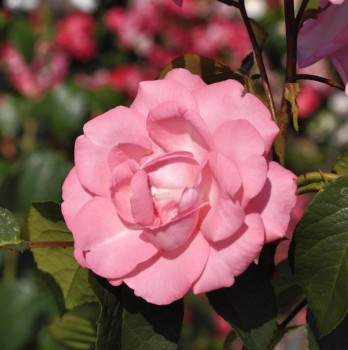 Hochstamm Rose Eliza 80-100cm
