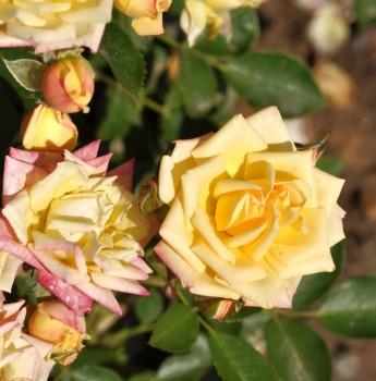 Hochstamm Rose Little Sunset 60-80cm