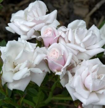 Hochstamm Rose Schneeküsschen 60-80cm