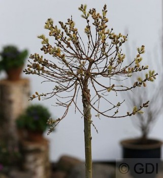 Hochstamm Zwerg Zierweide 80-100cm - Salix subopposita