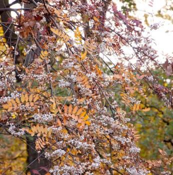 Weiße Ziereberesche Rufus 100-125cm - Sorbus hupehensis