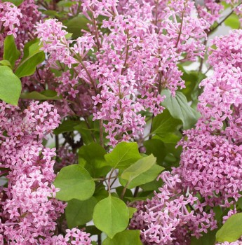 Zwergflieder Flowerfesta®Pink 60-80cm - Syringa vulgaris