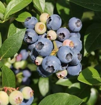 Immergrüne Heidelbeere Sunshine Blue 30-40cm - Vaccinium corymbosum
