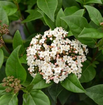 Mittelmeer Schneeball Ladybird 50-60cm - Viburnum tinus