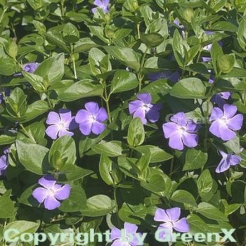 Immergrün - Vinca major