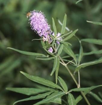 Mönchspfeffer Pink Pinnacle® 30-40cm - Vitex agnus castus