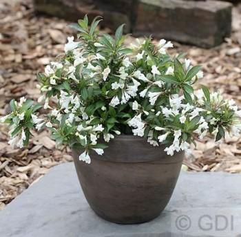 Weigelie Black and White 40-60cm - Weigela florida