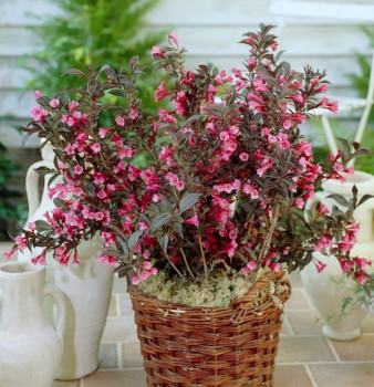 Weigelie Wings of Fire 30-40cm - Weigela florida