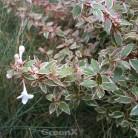 Großblumige Abelie Pink Lady® 20-30cm - Abelia grandiflora