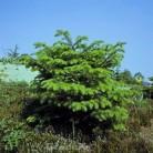 Griechische Zwerg Tanne Meyers Dwarf 25-30cm - Abies cephalonica