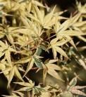 Hochstamm Fächerahorn Beni-shishi-henge 60-80cm - Acer palmatum