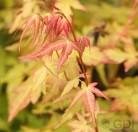 Fächerahorn Bii-Hoo 30-40cm - Acer palmatum