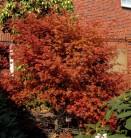 Rotaustreibender Fächerahorn Deshojo 30-40cm - Acer palmatum