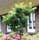 Hochstamm Fächerahorn Mikawa Yatsubusa 60-80cm - Acer palmatum