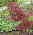 Japanischer Ahorn Sherwood Fame 30-40cm - Acer palmatum