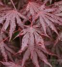 Fächer Ahorn Trompenburg 125-150cm - Acer palmatum