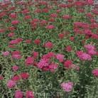 Schafgarbe Christel - großer Topf - Achillea millefolium
