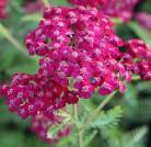 Schafgarbe Kirschkönigin - Achillea millefolium