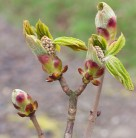 Hochstamm Strauch Kastanie 60-80cm - Aesculus parviflora