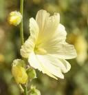 Gelbe Stockrose - großer Topf - Alcea rosea