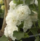 Weiße Stockrose - großer Topf - Alcea rosea