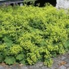 Frauenmantel Irish Silk - großer Topf - Alchemilla mollis