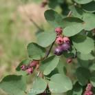 Felsenbirne Honeywood 60-80cm - Amelanchier alnifolia