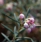 Lavendelheide Norge - Andromeda polifolia