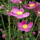 Japanische Herbstanemone Pretty Lady Diana - großer Topf - Anemone japonica