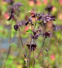 Akelei Black Barlow - großer Topf - Aquilegia vulgaris