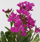 Garten Gänsekresse Rote Sensation - Arabis blepharophylla
