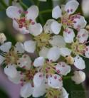 Apfelbeere Hugin 60-80cm - Aronia melanocarpa