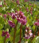 Bergenia cordifolia Rotblum - 2 bis 4 L Topf - Bergenia cordifolia