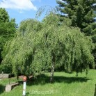 Hochstamm Birke Long Trunk 100-125cm - Betula pendula
