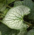 Kaukasus Vergißmeinnicht Jack Frost - großer Topf - Brunnera macrophylla
