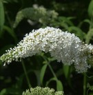 Sommerflieder Darts Ornamental White 40-60cm - Buddleja
